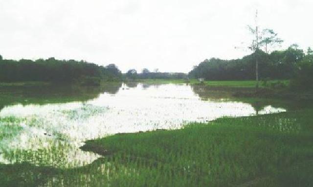 Disaat Harga Karet Masih Anjlok, Banjir Juga Ancam Rusak Padi Warga yang Baru Ditanam