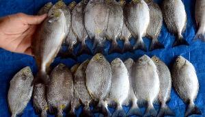 Enam Jenis Ikan yang Sebaiknya Dihindari